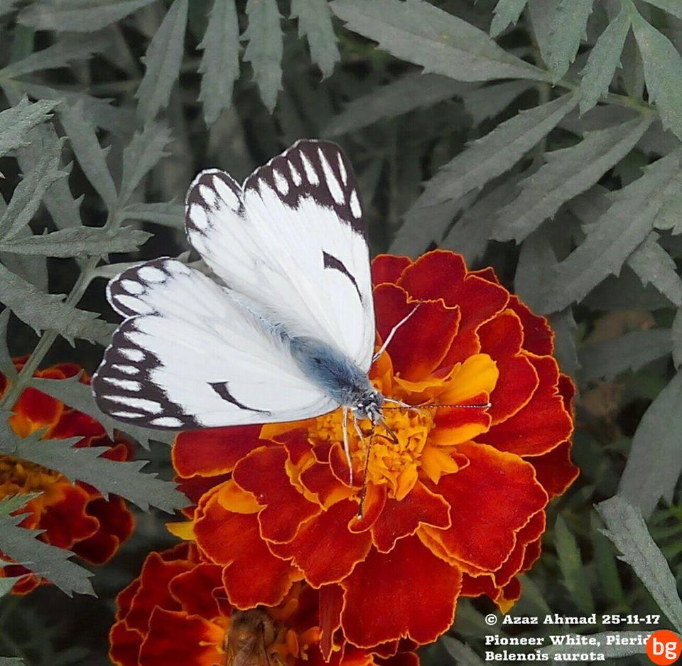 Familya Pieridae, Tür Belenois aurota