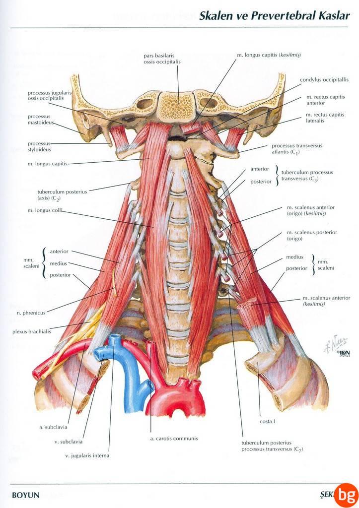 Skalen ve prevertebral kaslar