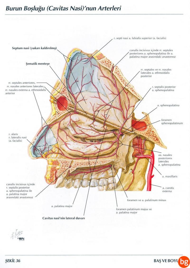 Burun Boşluğunun Arterleri (Cavitas Nasi)