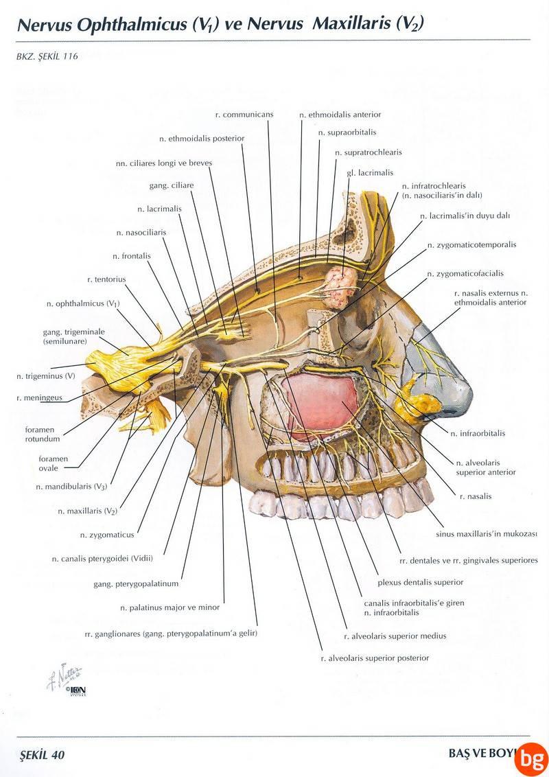 Nervus Opthalmicus ve Nervus Maxillaris