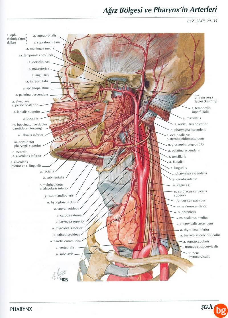 Ağız Bölgesi ve Farinksin Arterleri