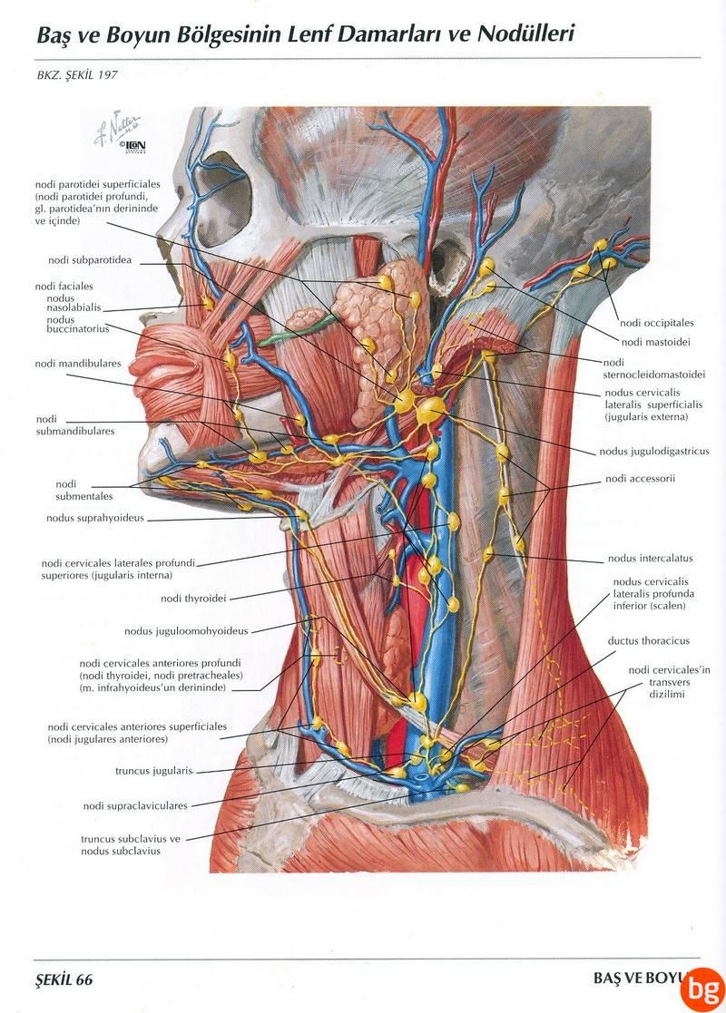 Baş ve boyun bölgesinin Lenf Damarları ve Nodülleri