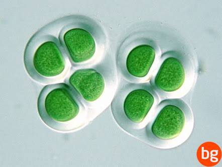 Mavi - Yeşil Algler - Chroococcus sp.