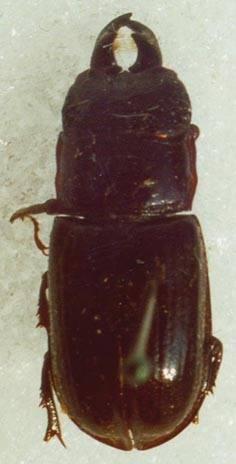 Ceruchus chrysomelinus (Hochenwarth, 1775)