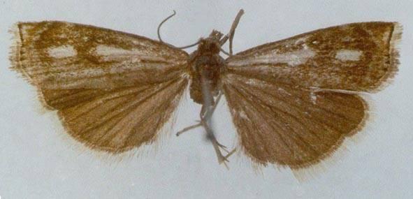 Crambus sachaensis Ustjuzhanin, 1988