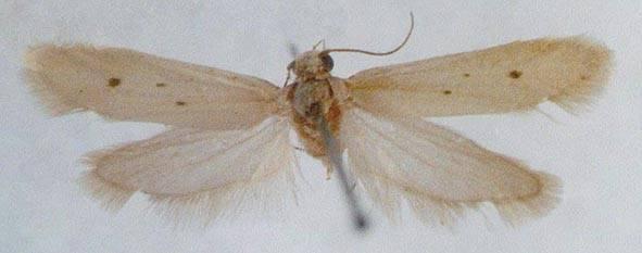 Ethmia distigmatella (Erschoff, 1874)