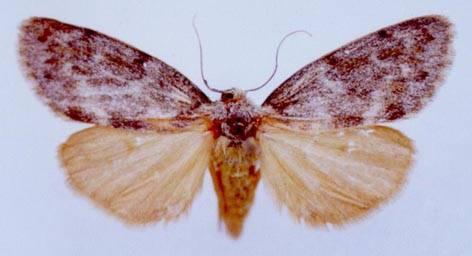 Hypeugoa flavogrisea Leech, 1899
