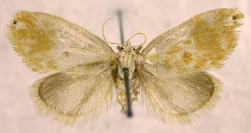 Kitanola uncula (Staudinger, 1887)