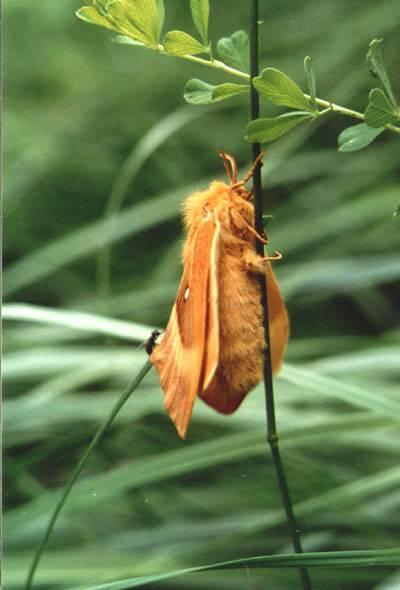 Lasiocampa quercus (Linnaeus, 1758)
