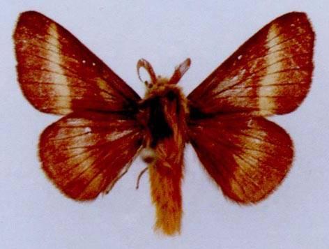 Malacosoma prima Staudinger, 1887