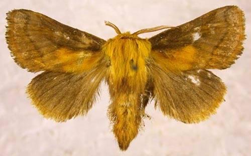 Narosoideus flavidorsalis (Staudinger, 1887)