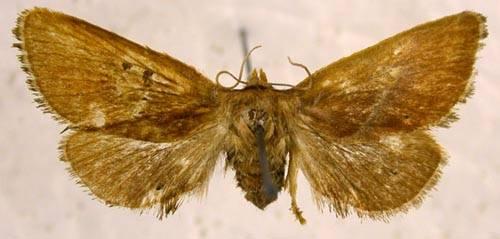 Phrixolepia sericea Butler, 1877
