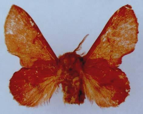 Phyllodesma joannisi ponticum Dubatolov, 1990