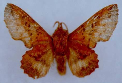 Phyllodesma tremulifolium gemela V.Zolotuhin, 1991