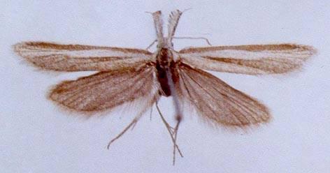 Pleurota (Macropalpula) tuvella Lvovsky, 1992