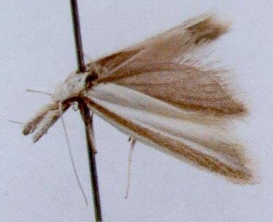 Pleurota malatya atrostriata Lvovsky, 1992