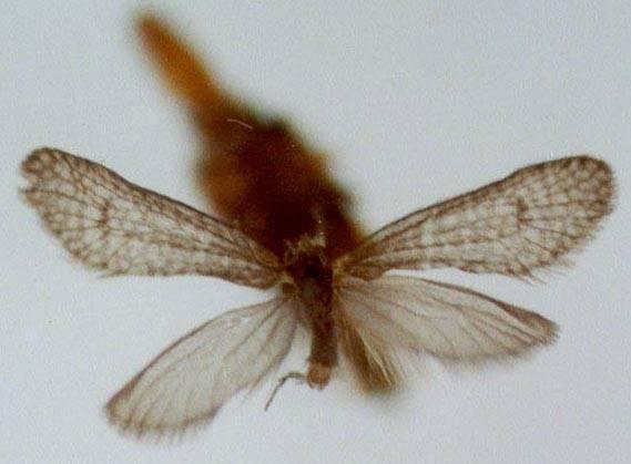 Solenobia dubatolovi Solanikov, 1990