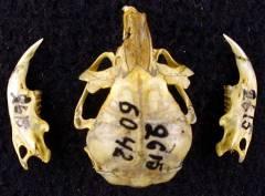 Memeliler (Mammalia Sınıfı)