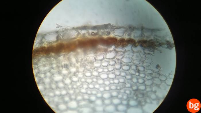 Sambucus nigra, Periderm
