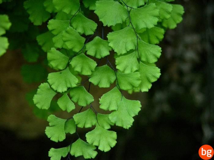 Adiantum capillus-veneris, Pteropsida, Cryptogrammaceae
