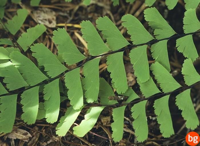 Adiantum pedatum, Pteropsida, Cryptogrammaceae