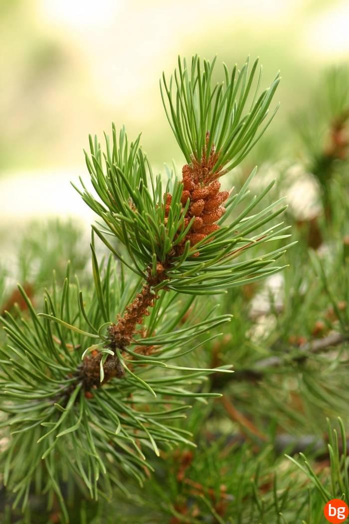 Pinus sp., Pinaceae, Pinophytina