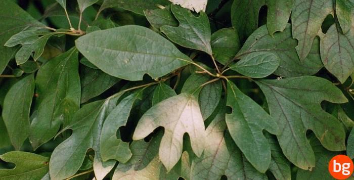 Sassafras albidum, Lauraceae, Magnoliopsida