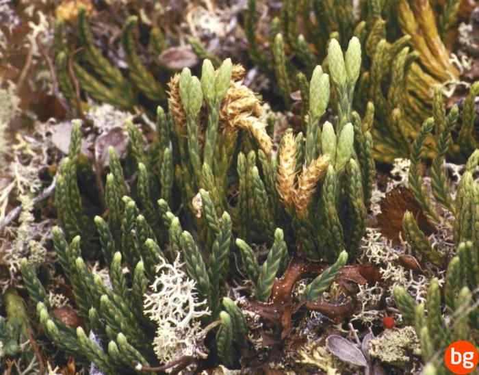 Selaginella selaginoides, Lycopsida, Selaginellaceae