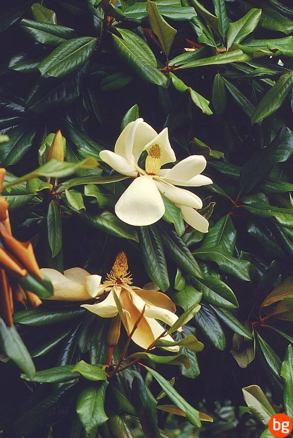 Magnolia acuminata, Magnoliaceae, Magnoliopsida