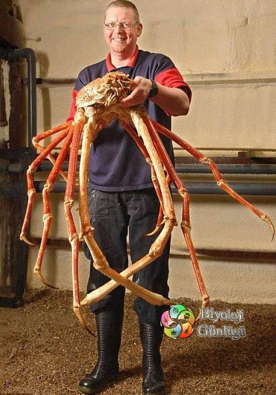 Japon örümcek yengeci, Macrocheira kaempferi